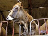Vache-curri%c3%a8re